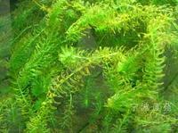 龙虾养殖水草轮叶黑藻