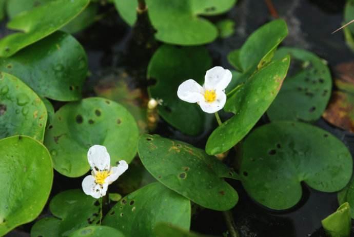 南京龙虾养殖水草水鳖