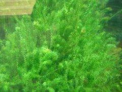 龙虾养殖水草伊乐藻
