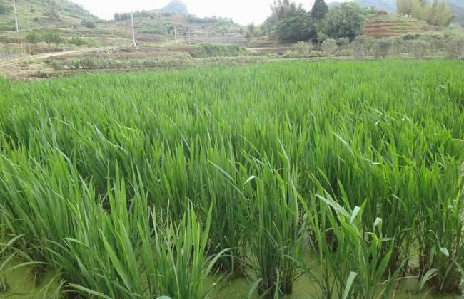 上海龙虾养殖套种植物茭白