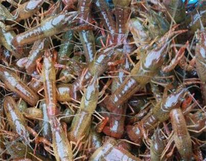 常州优质生态龙虾种苗