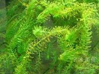 淮安龙虾养殖水草轮叶黑藻