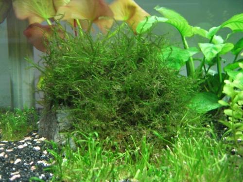 龙虾养殖水草丝藻