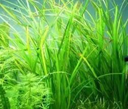 江苏养殖水草-微齿眼子菜