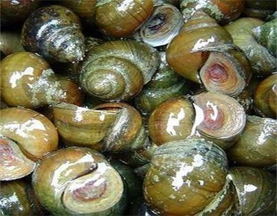 江苏龙虾养殖饲料螺蛳